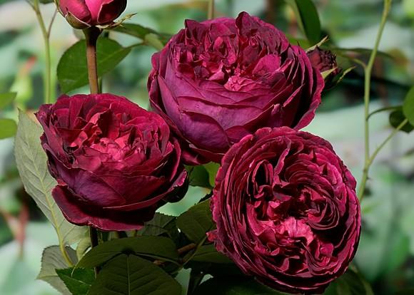 Falstaff сорт розы