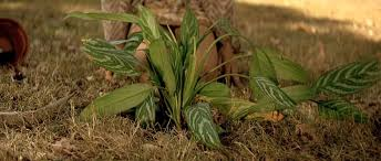 La planta Aglaonema de Leon personaje de El perfecto sasesino