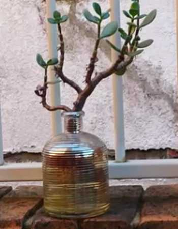 Jade Plant Propagation From Stem in Water