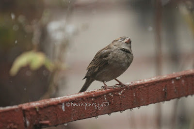 "This photo features a young female house sparrow perched on a metal orange colored railing that surrounds my garden. She appears to be looking up at wet snow which is falling lightly.  A web-page (@ https://www.thespruce.com/house-sparrow-387273) for this bird type describes this bird type by saying, ""Male and female house sparrows look distinctly different. Males have a black chin and bib, white cheeks, and a rust-colored cap and nape of neck. The black on the chin and breast can vary widely, with older, more dominant males showing more extensive black. The underparts are pale grayish, and the back and wings show brown and black streaking. The rump is gray. Males also have a single white wing bar. Females are plainer, with a broad buff eyebrow and brown and buff streaks on the wings and back. On both genders, the legs and feet are pale and the eyes are dark. Overall, both males and females have a stocky appearance. Juveniles resemble adult females but with less distinctive markings and a less defined eyebrow.""  House sparrows are featured in my book series, ""Words In Our Beak."" Info re my books is in another post on my blog @  https://www.thelastleafgardener.com/2018/10/one-sheet-book-series-info.html"