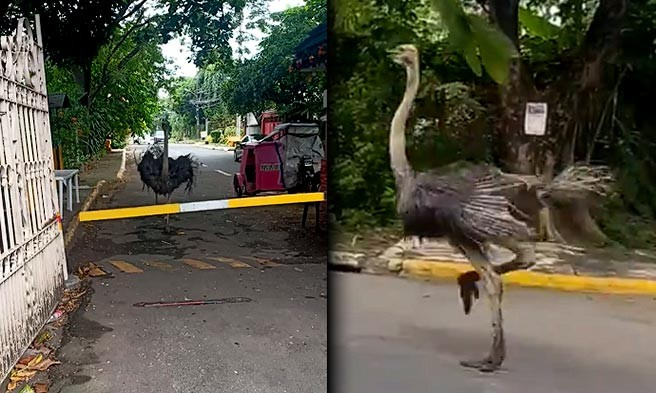 Ostrich runs loose in QC subdivision