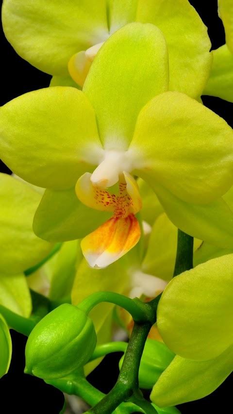 Nụ hoa lan vàng