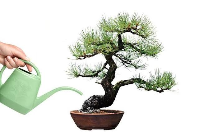 Tips Menyiram Pohon Bonsai