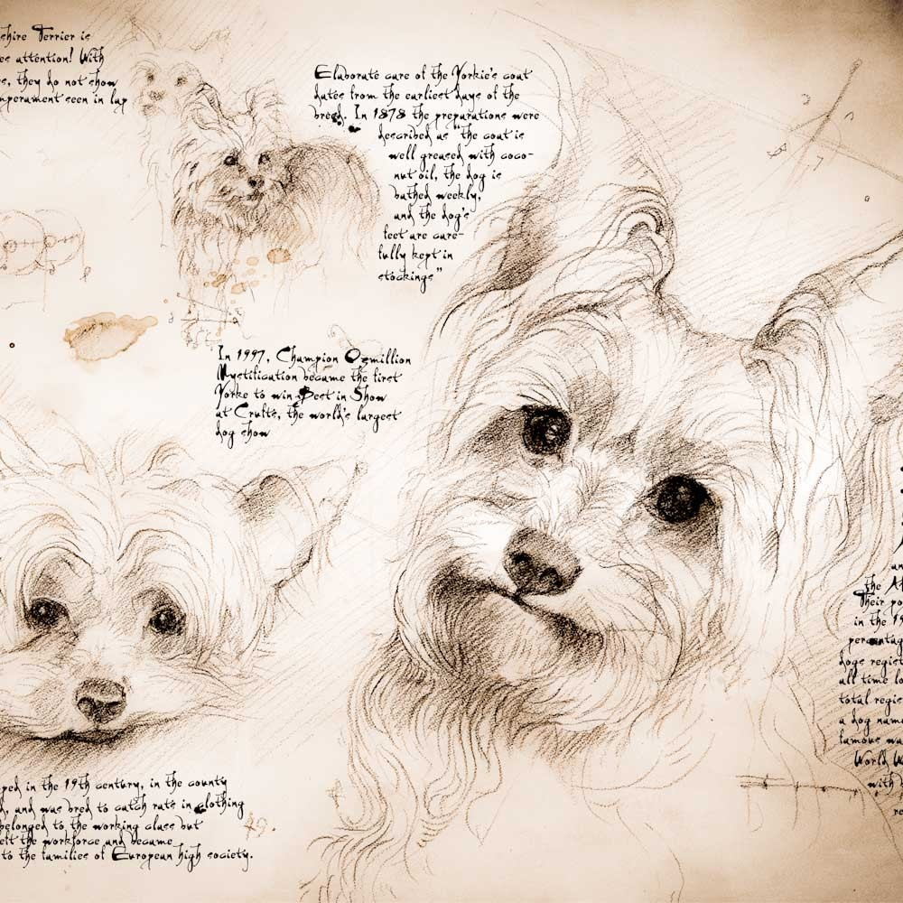 09-Yorkie-Study-Leonardo-s-Dogs-Cats-and-Dogs-Drawn-in-the-style-of-Leonardo-da-Vinci