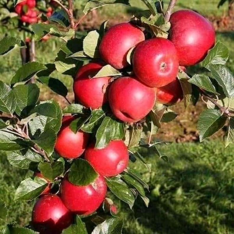 Bibit buah apel ana merah cepat berbuah Sumatra Selatan