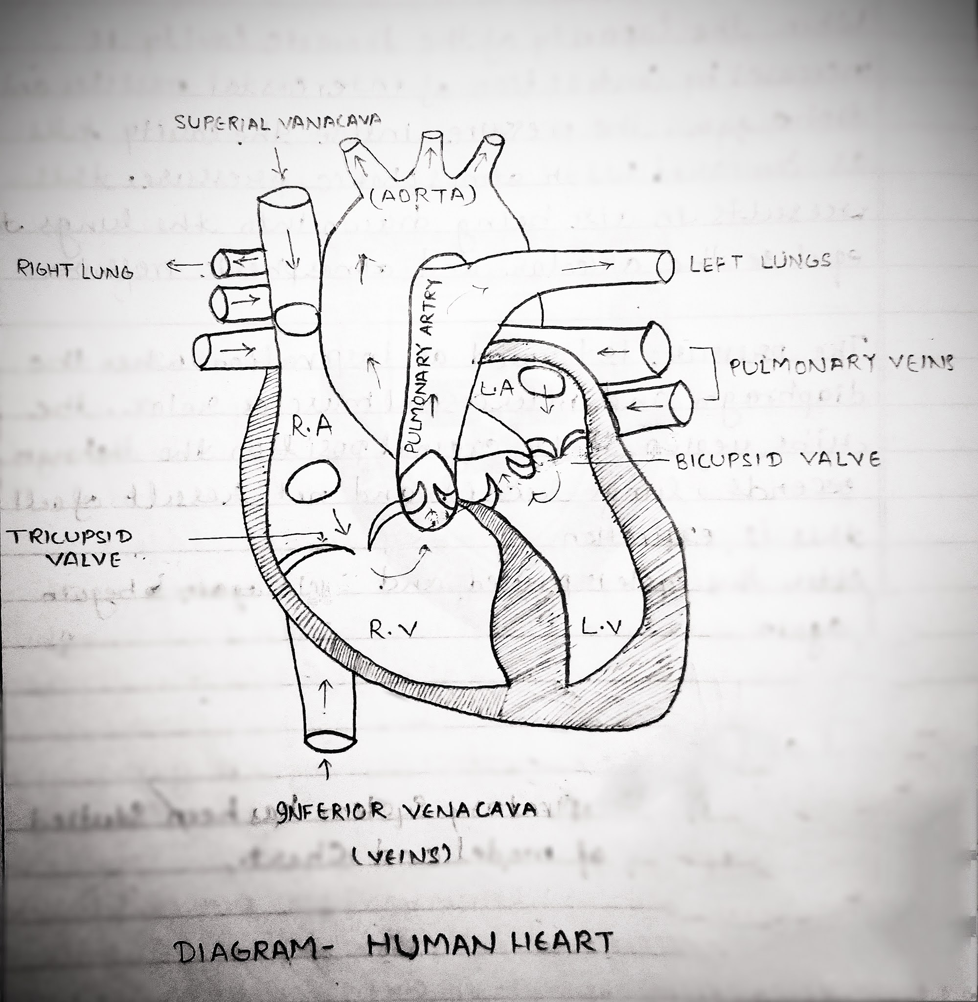Human Heart Anatomy, Physiology and fact's about Human Heart