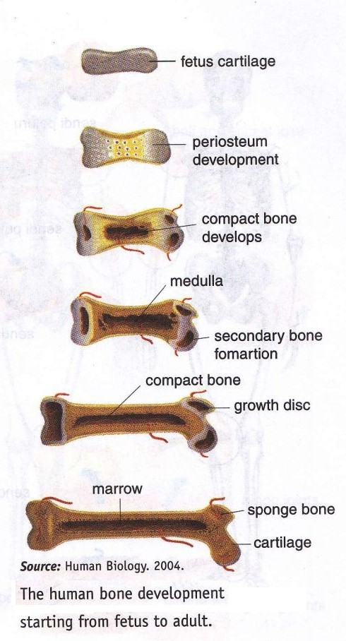 skeletal system formation ~ new science biology, Skeleton