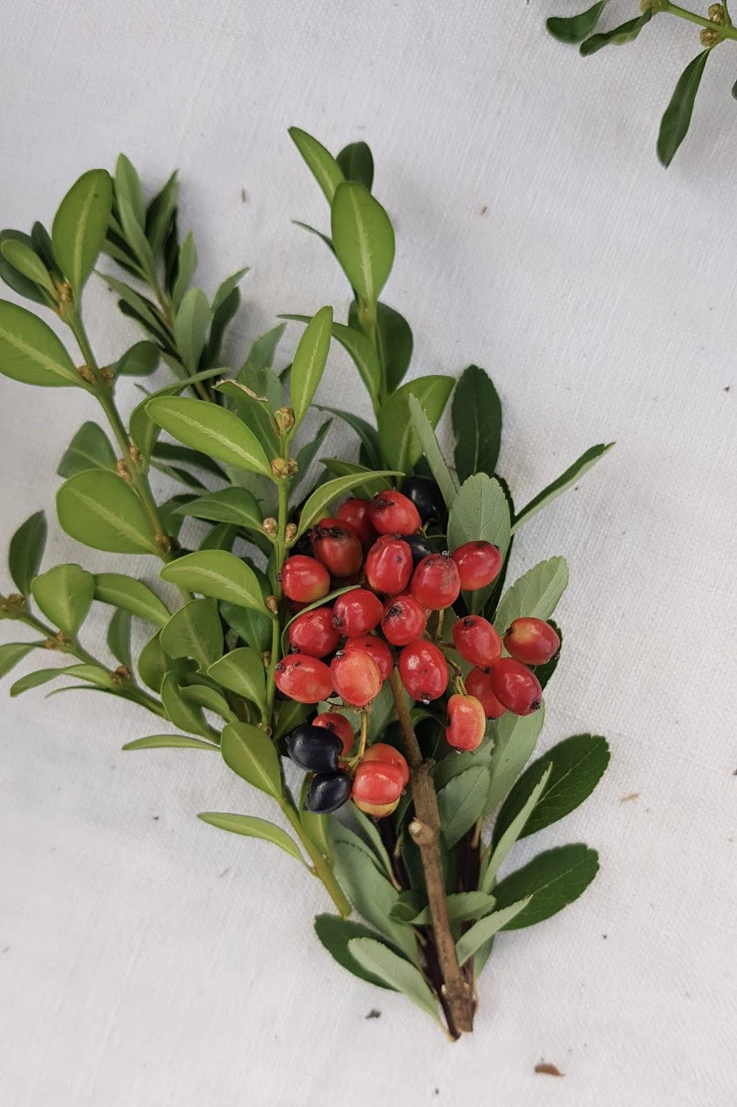 Früchte Beeren vom Wolliger Schneeball. Kombination mit Buchs. Beerenkranz für den Herbst