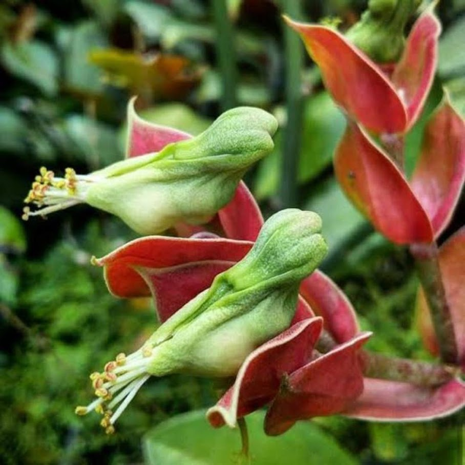 Tanaman hias bunga cucak rowo murah Sumatra Utara