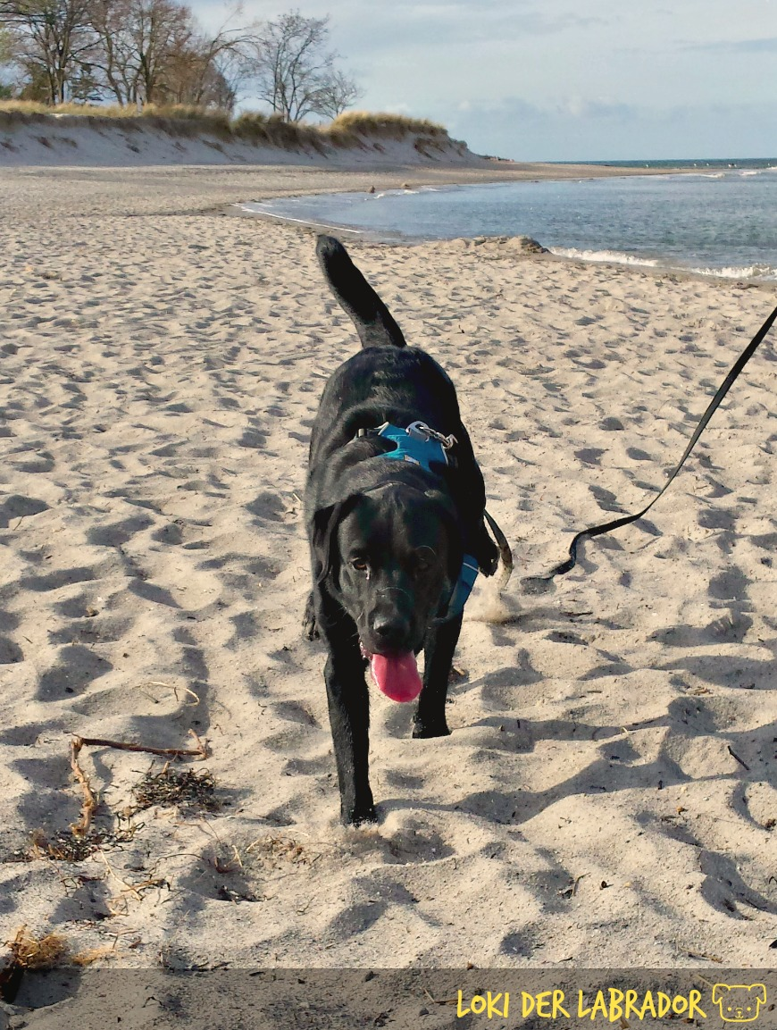 Schwarzer Labrador am Strand