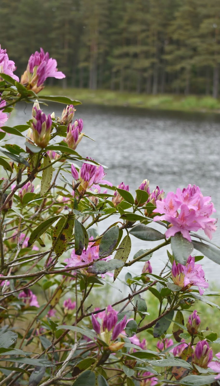 Rhododendrons at National Trust Cragside - Lake