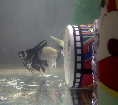 admanda.com - Cara Memijahkan Angelfish dalam Aquarium