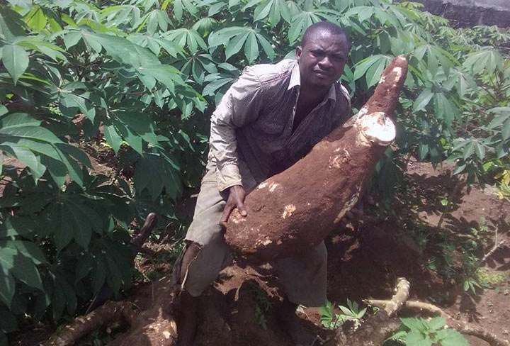 "Imo State farmer harvests huge tubers: Is this the ""big"" cassava Tekno sang about?"