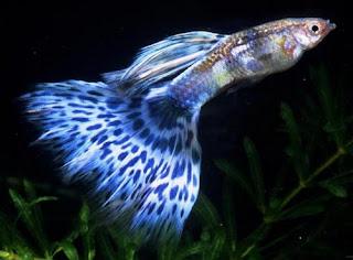 أسماك الطاووس الصينية الرائعة الجمال سبحــــــان الله image01010-733792.jp