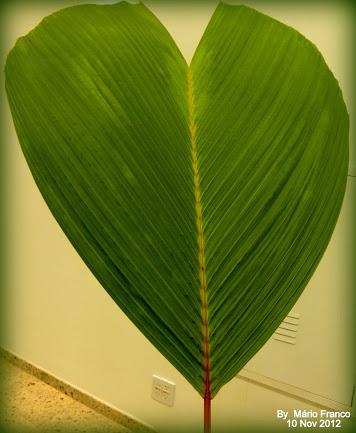 Seychelles Stilt Palm.