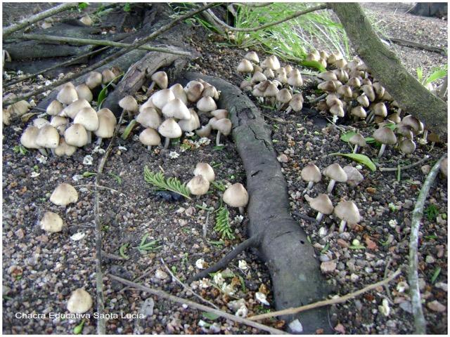 Suelo cubierto de hongos - Chacra Educativa Santa Lucía