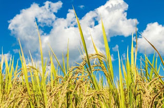 Rice Cultivation To Obtain Optimal Results