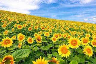 Khasiat Manfaat Bunga Matahari untuk Kesehatan