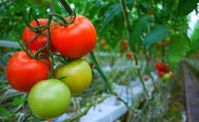 Manfaat Tomat Untuk Asam Urat