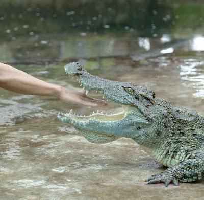 Рука во рту крокодила