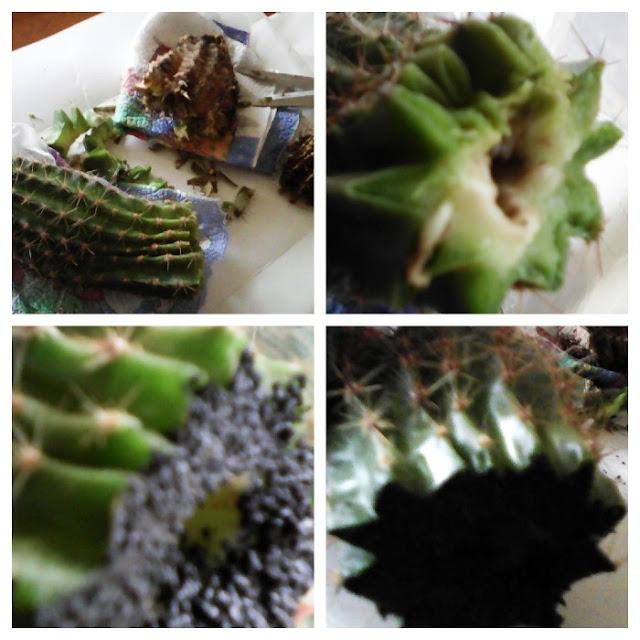 cactusul putrezit trebuie taiat pana cand se ajunge la punctul unde trunchiul este plin