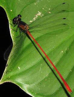 Heteragrion erythrogastrum, Red-and-black Flatwing