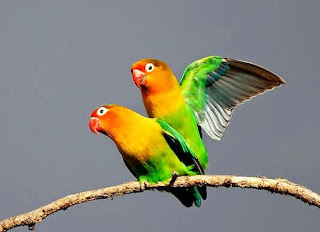Cara Paling Ampuh Menjodohkan Burung Lovebird