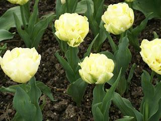 Tulipes Doubles tardives (Fleur de pivoine) - Tulipa Charming lady - Tulipe Charming lady