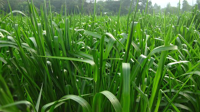 Mua hạt giống cỏ paspalum atratum ở đâu