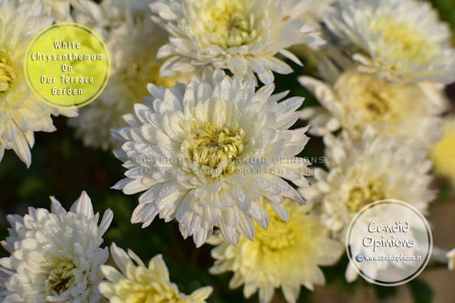 White Chrysanthemums On Our Terrace Garden