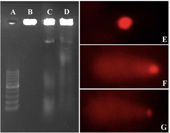 DNA ladder of 100 bp-1kbp size