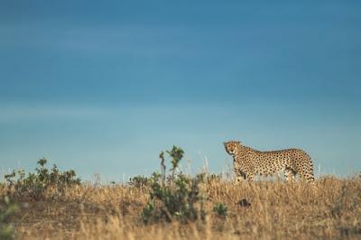 Cheetah photos and HD wallpaper 2020