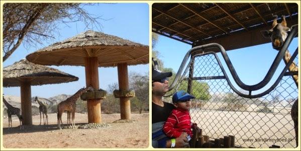 Al Ain Zoo giraffe feeding