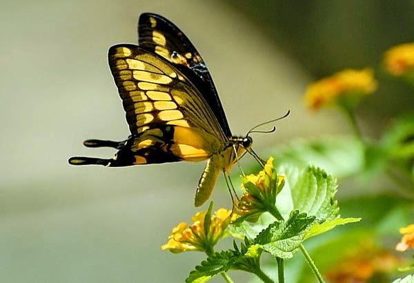 spodopteralice papillons ou mites. Black Bedroom Furniture Sets. Home Design Ideas