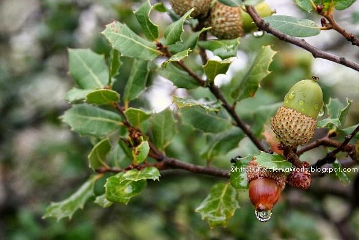 holm oak in Kefalonia