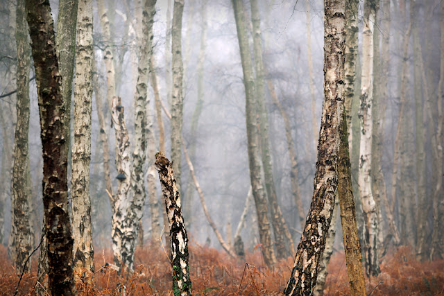 Holme Fen trees surrounded by mist in the Cambridgeshire Fens