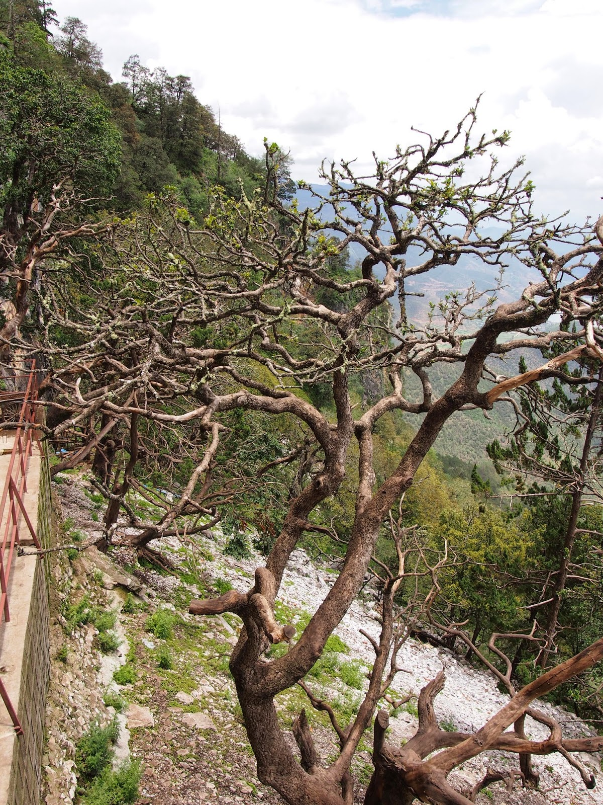 Monkeys in twisted trees at lugu lake