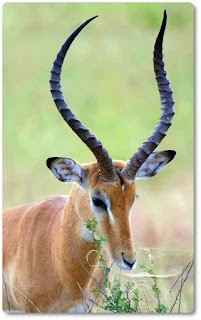Horns like the impalas consist of keratin covering a core of live bone