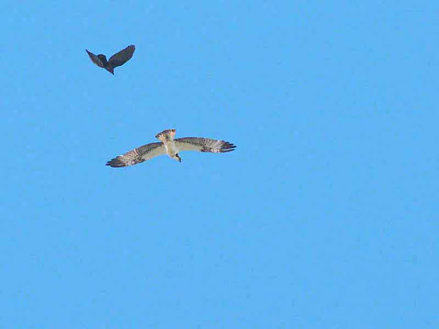 Crow and Osprey in flight