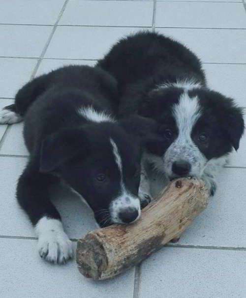cachorros cruce border collie 1