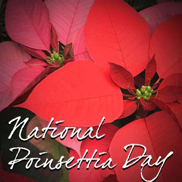 National Poinsettia Day Wishes Pics