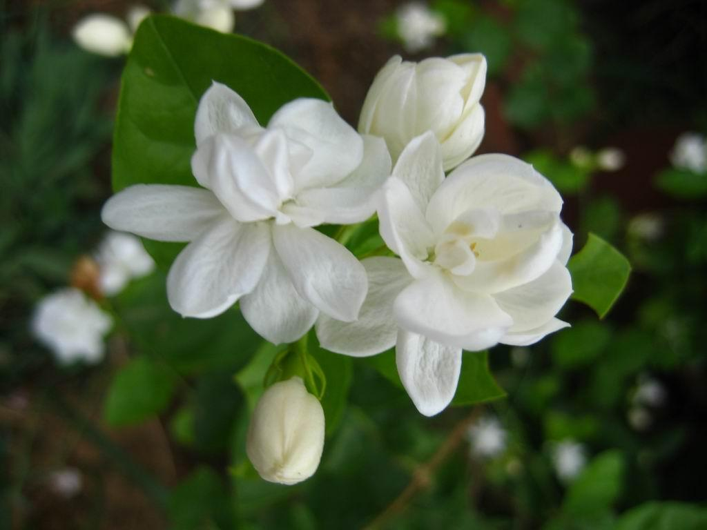 Jasmine Flower Wallpaper