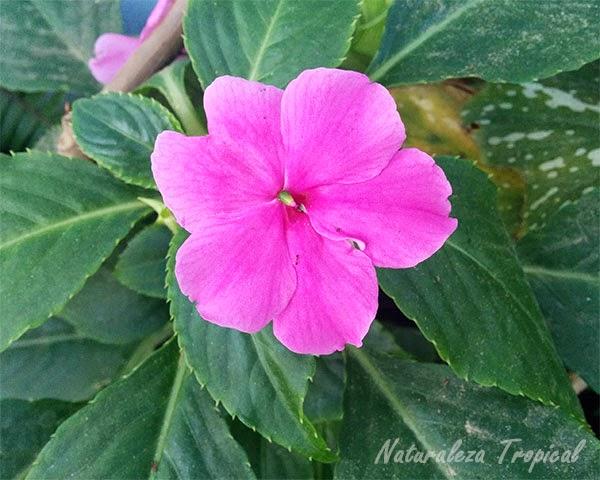 Variedad rosa de la flor Madama