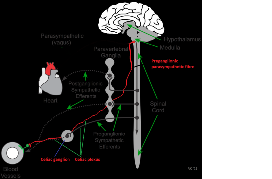 interconnected intrinsic cardiac ganglia - 1092×720