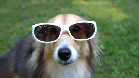 Funny Dogs Wearing Sunglasses Compilation 2017
