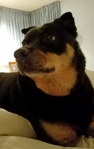 image of Zelda the Black and Tan Mutt in bed with me, looking alert
