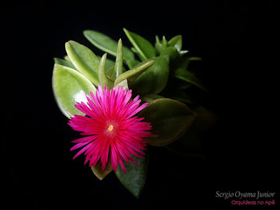 Suculenta Aptenia cordifolia