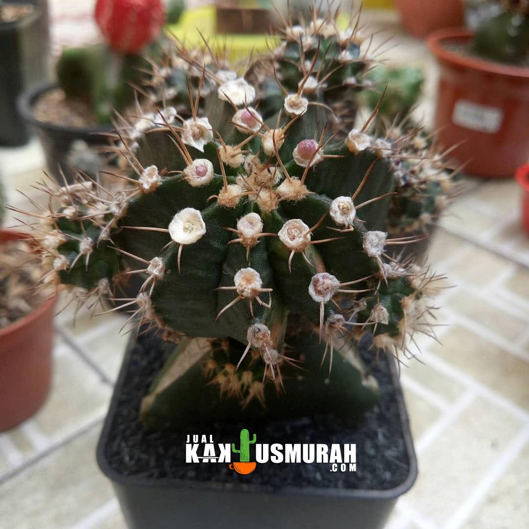 Kaktus Mini Kaktus Hias Kaktus Unik K4 Jualkaktusmurah Com
