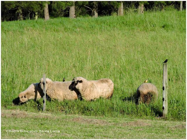 Tordos en la pradera junto a las ovejas - Chacra Educativa Santa Lucía
