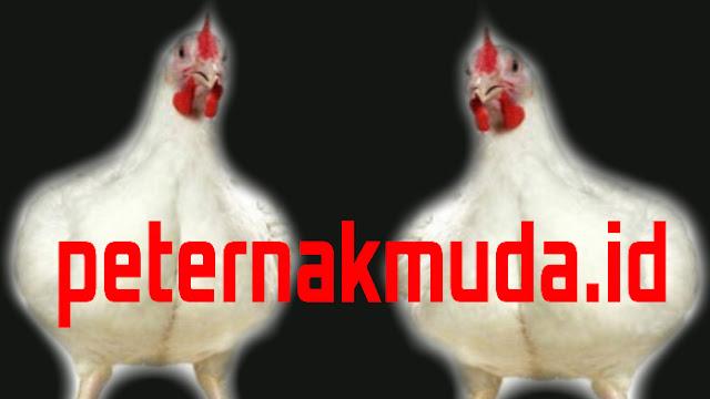 Sejarah Ayam Pedaging